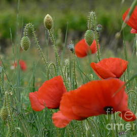 France  Art - Poppies and Vines