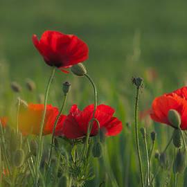Jawaharlal Layachi - Poppies