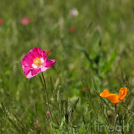 Louise Heusinkveld - Poppies in a wildflower meadow in Hilton Head