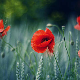 Gynt   - Poppies in the meadow