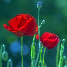 Hal Halli - Poppies in the Sun