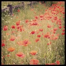 Sarah Walsh - #poppies #summer #flower #ireland