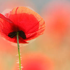 Roeselien Raimond - Poppy Dream