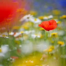 Sarah-fiona  Helme - Poppy Field Fantasy