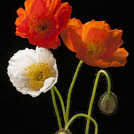 Elena Elisseeva - Poppy flowers on black