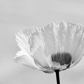 Ludwig Keck - Poppy in White