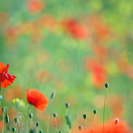 Roeselien Raimond - Poppy Party - Field of Corn Poppies
