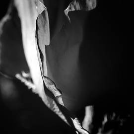 Adele Buttolph - Poppy Unfolding