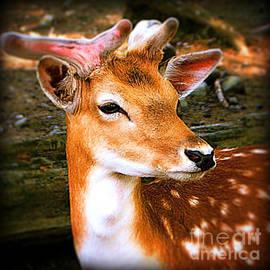 Maggie Vlazny - Portrait Male Fallow Deer