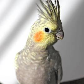 Gregory DUBUS - Portrait of a cockatiel