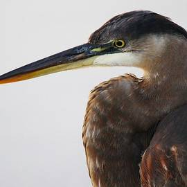 Paulette Thomas - Portrait of a Great Blue Heron - # 19