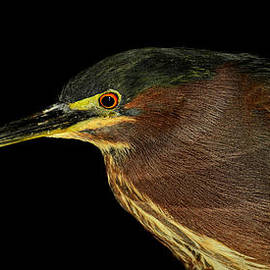 Stuart Harrison - Portrait of a green heron