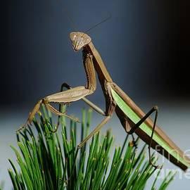 Joy Bradley - Portrait of a Praying Mantis