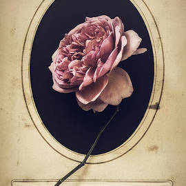 Amy Weiss - Portrait of a Rose