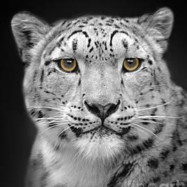 Linsey Williams - Portrait Of A Snow Leopard