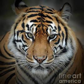 Jim Fitzpatrick - Portrait of a Tiger Fade to Black