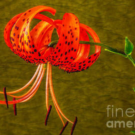 Dave Bosse - Portrait of a Tiger Lily