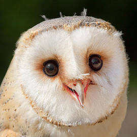 Roeselien Raimond - Portrait of a Young Barn Owl
