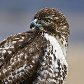 Wes and Dotty Weber - Portrait Of A Young Hawk D8108