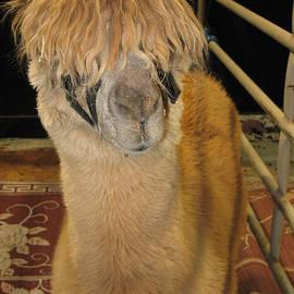 Connie Fox - Portrait of an Alpaca