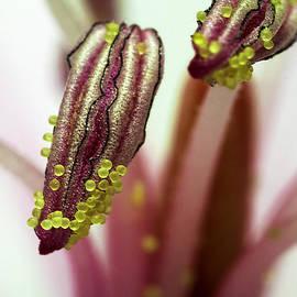 Mr Bennett Kent - Portrait of pollen