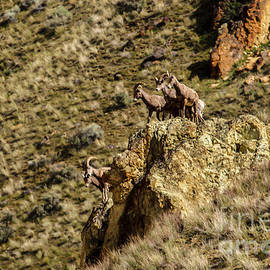 Robert Bales - Posing Bighorn Sheep