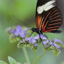 Maj Seda - Postman Butterfly
