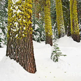Jamie Pham - Potential - Winter scene of Badger Pass in Yosemite National Park
