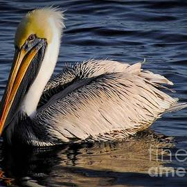 Quinn Sedam - Pelican trying to reflect