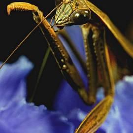 Leslie Crotty - Praying Mantis  Closeup Portrait 2 on Iris Flower