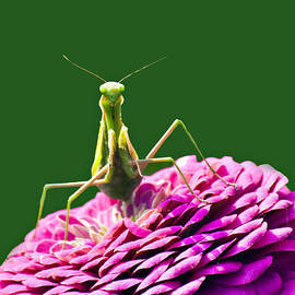 David Simons - Praying Mantis