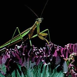 Leslie Crotty - Praying Mantis  walking on cactus plant looking at me