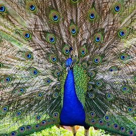Tony  Colvin - Pretty as a Peacock