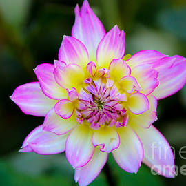Elizabeth  Ann - Pretty in Pink Dahlia