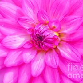 Peggy  Franz - Pretty In Pink Dahlia