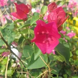 Ifunanya Onyima - #pretty #magenta #flower #homedepot