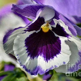 Luv Photography - Pretty Pansy Flowers