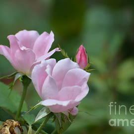 DejaVu Designs - Pretty Pastel Pink Rose