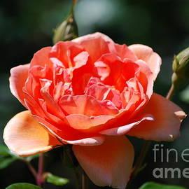 DejaVu Designs - Pretty Peach Rose