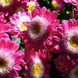 Jeannie Rhode Photography - Pretty Pink Chrysanthemums
