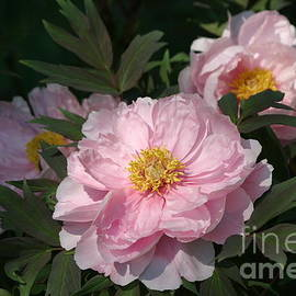 Living Color Photography Lorraine Lynch - Pretty Pink Peonies