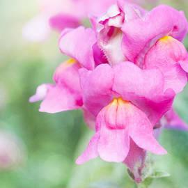 Linda Lees - Pretty Pink Snapdragons