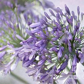 Sabrina L Ryan - Pretty Purple Lily of the Nile