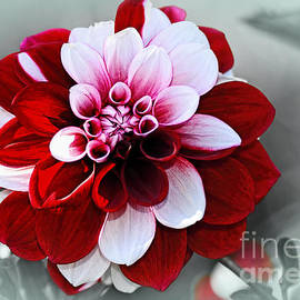 Kaye Menner - Pretty Red White Variegated Dahlia by Kaye Menner