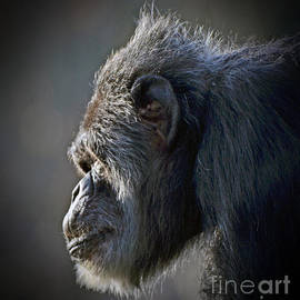 Jim Fitzpatrick - Profile Portrait of an Elderly Chimp