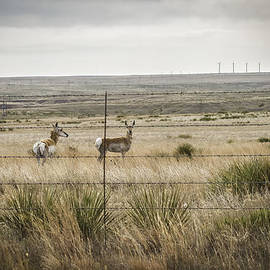 Karen Stephenson - Pronghorn or Pronghorn Antelope on 6666 Ranch in Texas Panhand