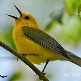 Kathy Baccari - Prothonotary Warbler Singing