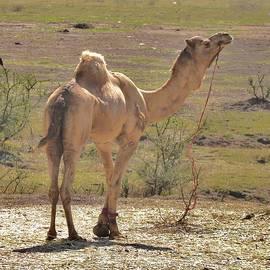 Kim Bemis - Proud Camel