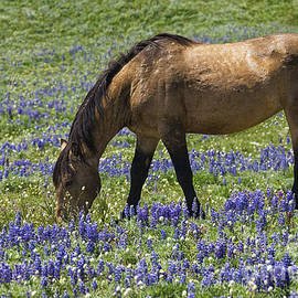 Priscilla Burgers - Pryor Mountain Wild Mustang in a Field of Lupine