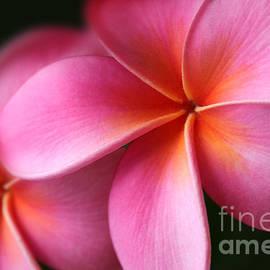 Sharon Mau - Pua Lei Aloha Cherished Blossom Pink Tropical Plumeria Hina Ma Lai Lena O Hawaii